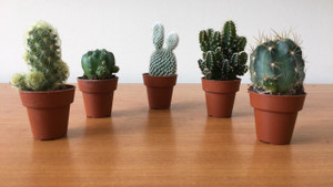 GIFT SET of 5  Sweet Little Cactus . Limited Stock.