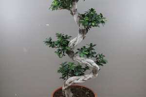 Large house bonsai plant with s shape