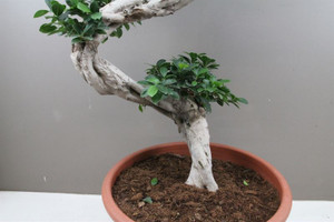 S Type Bonsai tall large 6ft Great for any house restaurant, easy to care plant to impress.