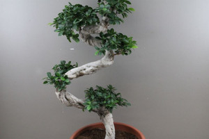 Ficus microcarpa plant to impress , easy care for house large rooms Kitchen , dining room.