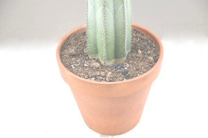 Large cactus in a terracotta pot for Office Living room.