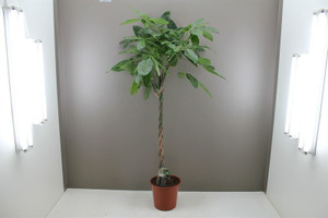 Large plaited money tree