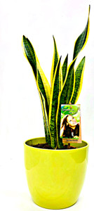 Other options : Large Mother's in law plant, sansevieria in green ceramic pot.