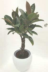 Quality white ceramic pot with a braided stem Rubber plant (Ficus elastica). Easy to grow , large shiny leaves with red marks air purifying house plant.