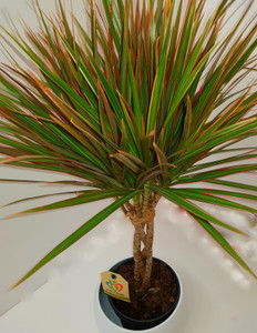 2 colours leaves variegated  Dracaena, Elegant Braided stem and a beautiful handmade planter