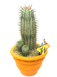 African Milk Barrel Cactus - Euphorbia horrida- in a ceramic pot . Easy care flowering plant with a dramatic look all year around