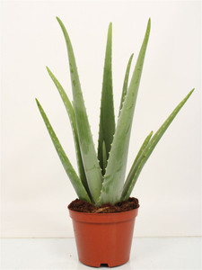 Large Aloe vera plant decorative edible and medicinal plant. Height supplied 55cm pot 17