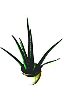 Large Aloe Vera medicinal and decorative Free Delivery & Free Silver ceramic Pot