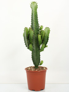 Euphorbia Tetra   65cm  Euphorbia tetra is an architectural succulent which can be treated in a similar way to a cactus.This plant is a large, branching specimen which currently stands at about 55cm tall, including the pot.
