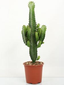 Euphorbia Eritrea  p21 70cm  Large cactus