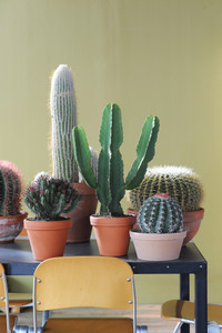 Large Mature cactus a gift for a cactus collector , Euphorbia Ingens. supplied at least 1m height planted  in a terracotta pot for office