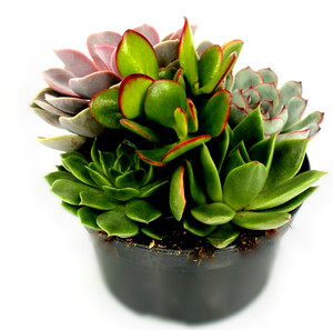 Great display,  start a collection for you or a as a gift . Looking great on every desk with the range of succulents leaves colours