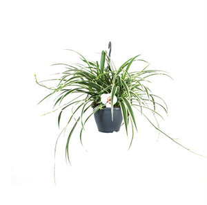 Large hanging basket pot size 18cm plant is about  60cm wide .  It will add charm and will pure the air in every room.
