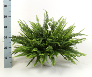 Boston Fern Nephrolepis in a hanging pot - 50-60m wide pot size 18cm. Online orders or collect from our garden centre .
