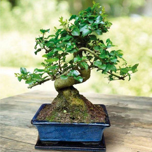 Bonsai Ligustrum S Shape