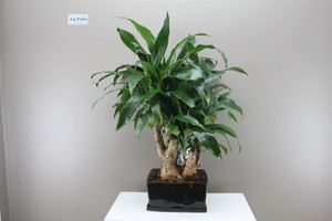 Dracaena Bonsai Janet Graig Bowl