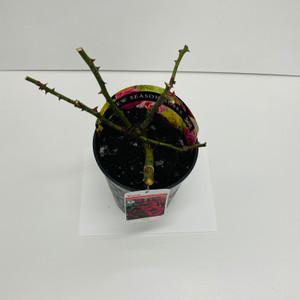 Ruby Celebration Potted Rose - 5.5 Litre Pot