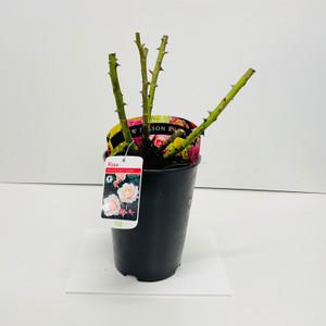 Valentine Heart Potted Rose - 5.5 Litre Pot