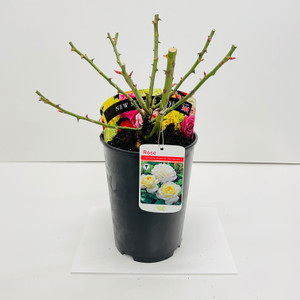 Champagne Moments Potted Rose - 5.5 Litre Pot