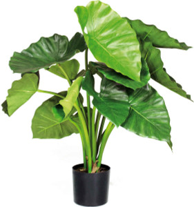 Potted Alocasia Calidora