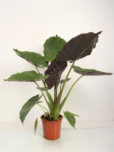 Alocasia Calidora - Elephants ear 100cm Easy Care house & garden plant free planter