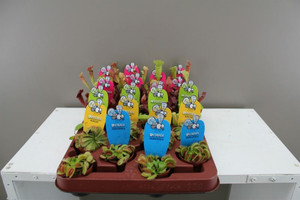 Mixed carnivorous plants