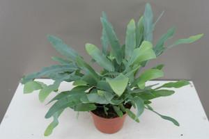 Decorative indoor fern