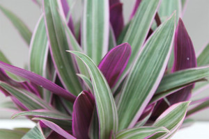 Variegated leaf Inch plant