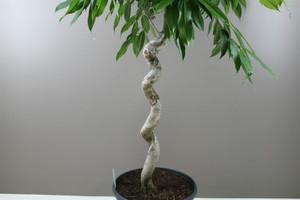 Ficus Amstel King Spiral