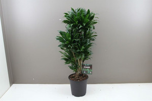 Dracaena Branched