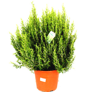 Huge plant , many uses  Rosmarinus bush 55cm height inc pot height Great gift.