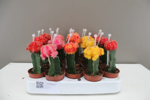 Coloured Chin Cactus