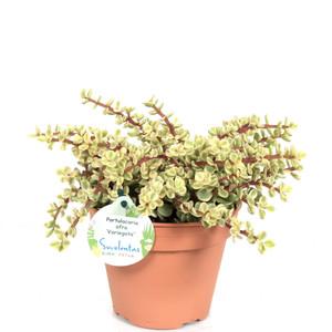 Portulacaria afra Variegata, crassula, afra, variegata, elephant, bush,  plant, spekboom, portulacaria,  succulent,, New