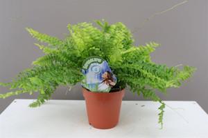Nephrolepis fern-(Boston fern)- Great indoor plant