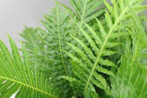 Silver lady fern