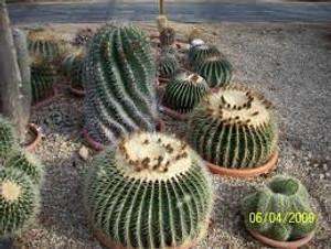 E. Grusonii cactus