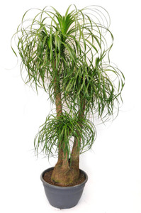 Large Branched Ponytail Palm