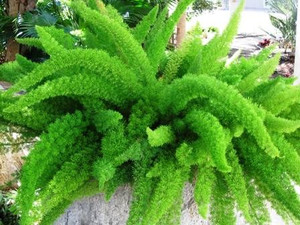 Foxtail fern leaves