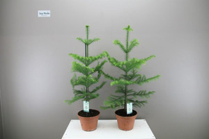 Medium Norfolk Pine 1 x p17cm x h60cm