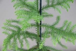Araucaria heterophylla leaves close up