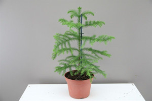 Small Norfolk Island Pine p15 xh30