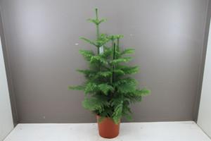 XL Norfolk Pine p27cm x h110cm