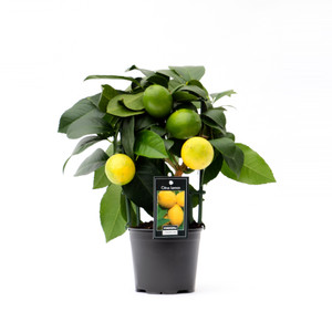 Lemon tree , small on trellis, perfect for any window ledge. Enjoy fruit in the Kitchen / greenhouse / conservatory. Great for lemonade salads, fish  and many other uses. It will hold the fruit ripe and fresh for over 6 month .
