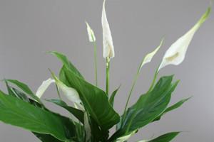 Spathiphyllum Sweet Silvio