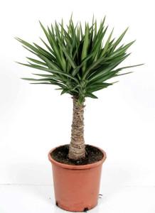 small yucca elmila