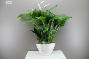 Large potted peace lily