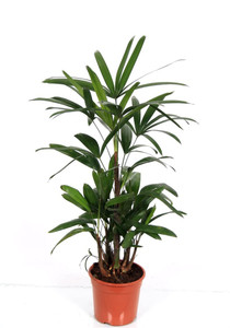 """Indoor Lady Palm """" Rhapis Excelsa """" 85cm pot 17   . plant as supplied . One of the most beautiful indoor plants , Dark green leaves , very easy to grow."""