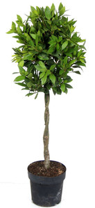 100cm twisted stem  Laurus Bay Tree