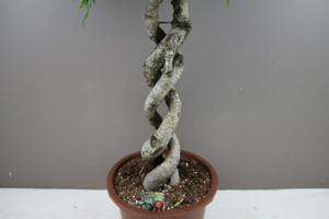 Spiral stem weeping fig