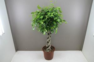 Spiral Ficus Exotica